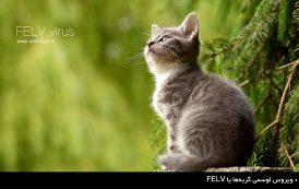 ویروس لوسمی گربهها یا FELV