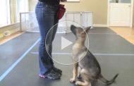 ویدئو آموزشی دستور نشستن سگ
