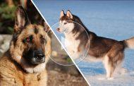 ویدئو سگ هاسکی در مقابل ژرمن شپرد