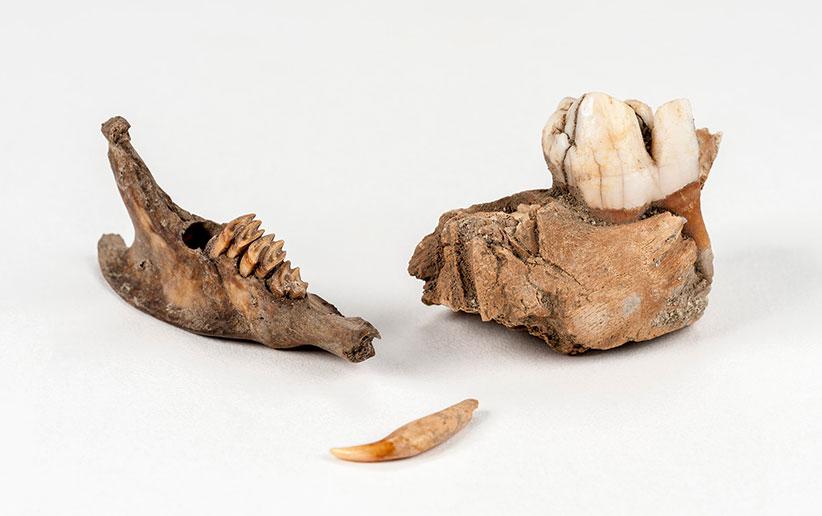 جانور باستان شناسی و لزوم آن در باستان شناسی