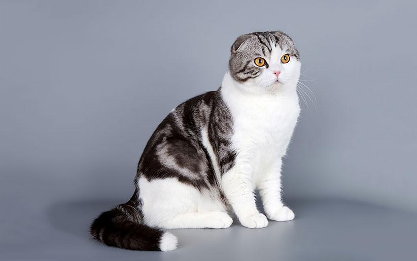 بررسی دقیق گربه نژاد اسکاتیش فولد + مراقبت و نگهداری | دنیای حیوانات