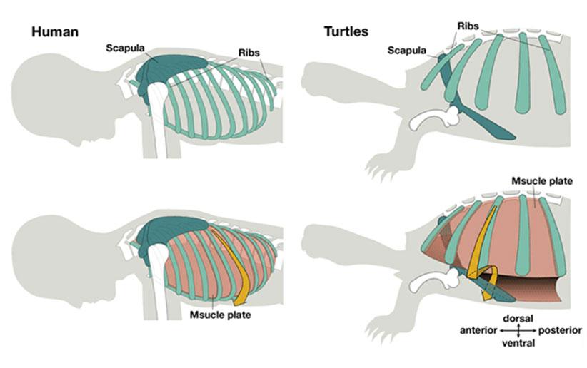 آناتومی لاک در لاکپشت