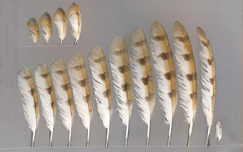 انواع پرندگان شکاری [جغدسانان]