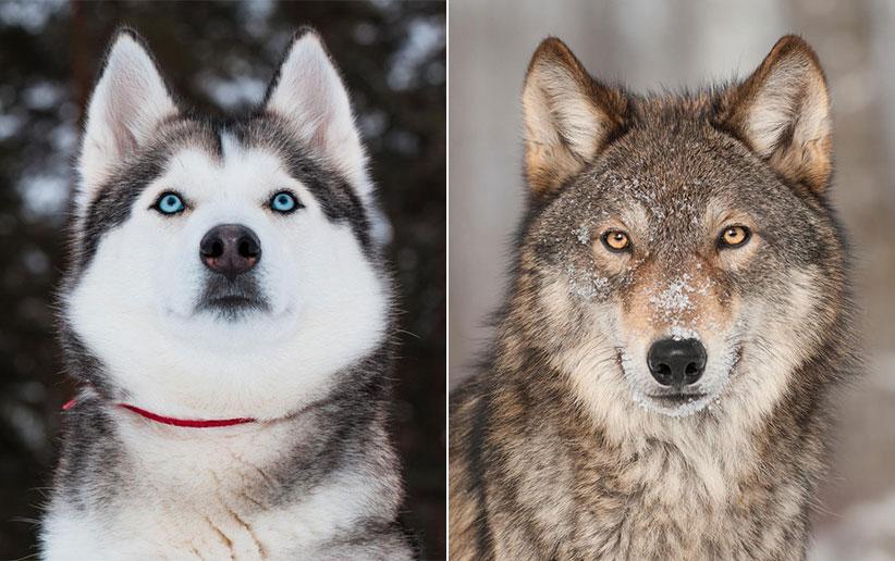 تفاوتهای شگفتانگیز گرگ و سگ