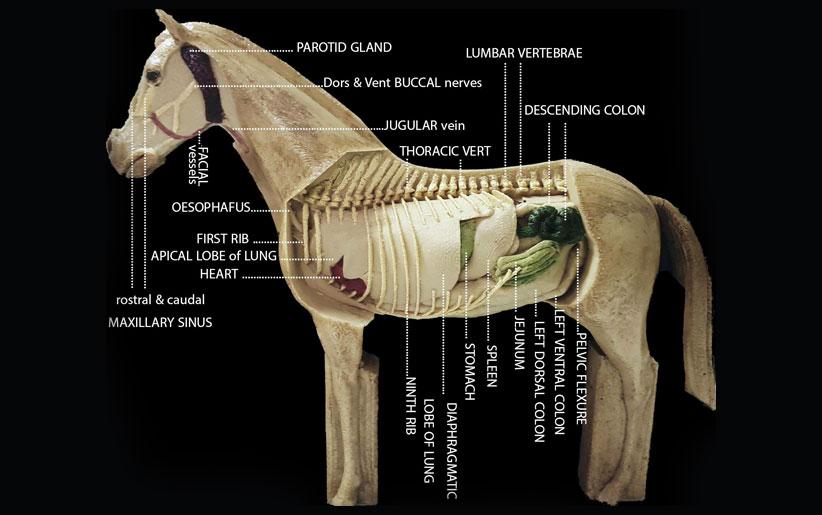 ساخت مجسمههای آموزش آناتومی حیوانات