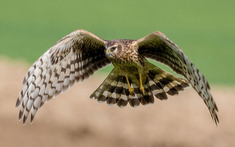 انواع پرندگان شکاری و ویژگیهای شگفت انگیز آنها