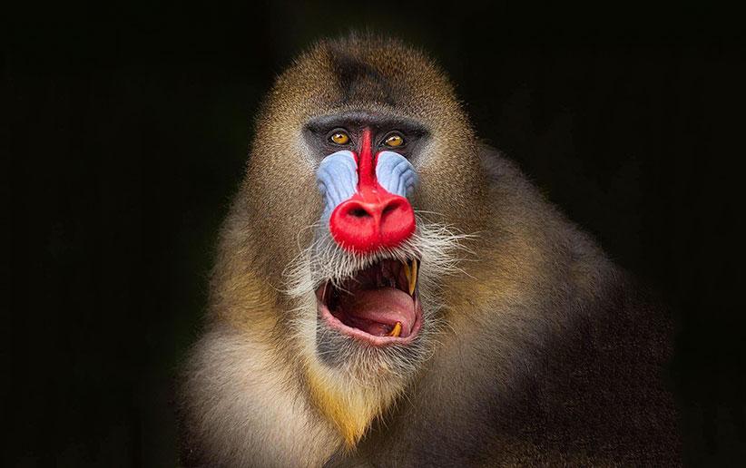 میمون مندریل - آشنایی با شگفتانگیزترین میمون زمین