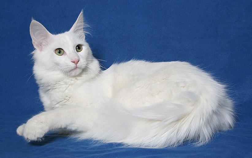 ۹ روش حرفهای برای تشخیص نژاد گربه آنگورای ترکی (ترکیش آنگورا)