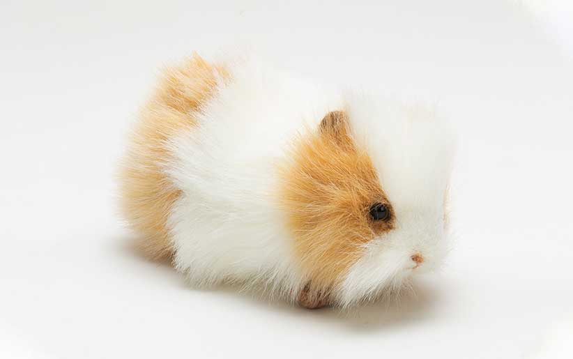 خوکچه هندی مو سیخ سیخی