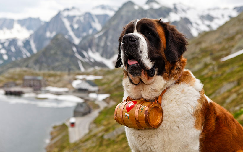 بررسی سگ سنت برنارد