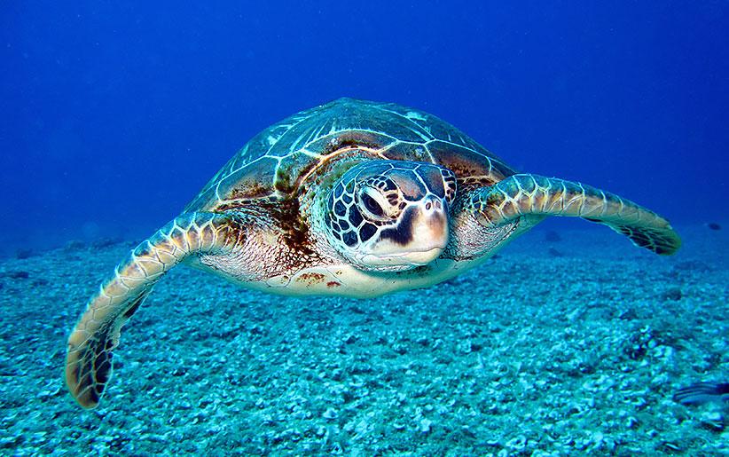 لاک پشت دریایی سیاه (لاک پشت دریایی سبز گالاپاگوس)