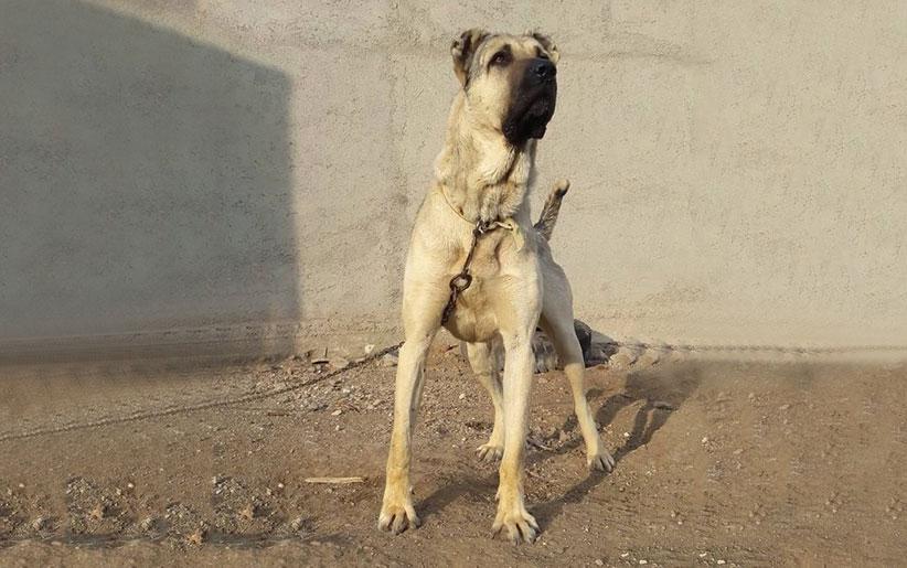 سگ سرابی دیوار