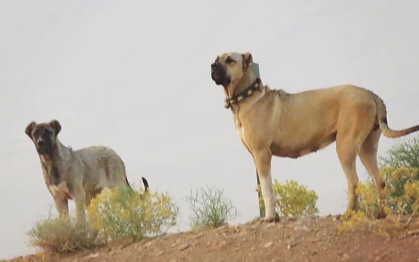 سگ سرابی سفید