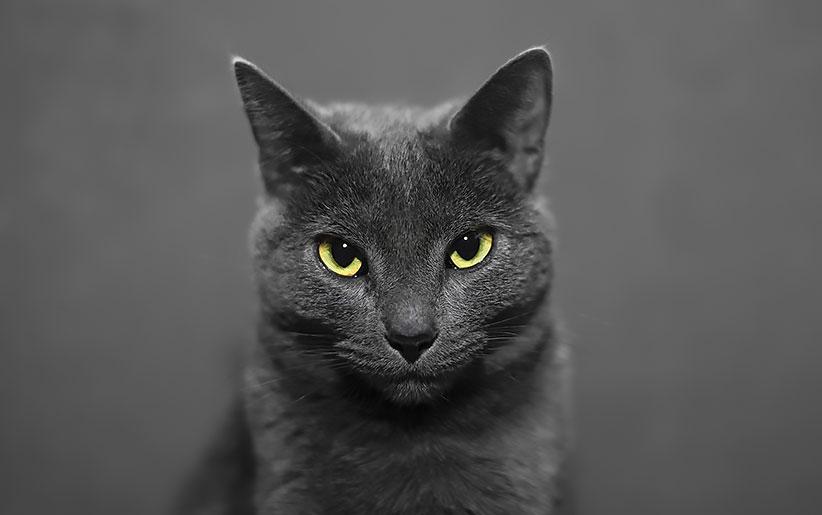 گربه سیاه با چشمان زرد