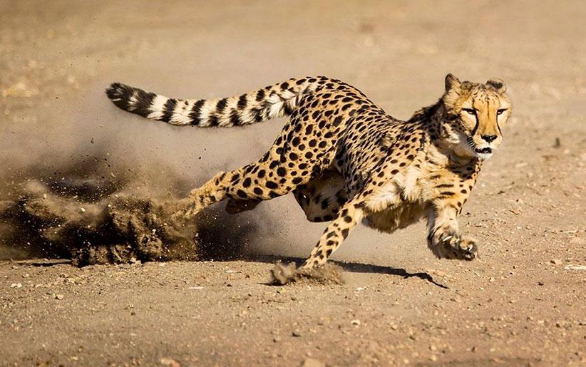 یوزپلنگ (چیتا) در حال دویدن بر روی زمین خاکی با سرعت بالا