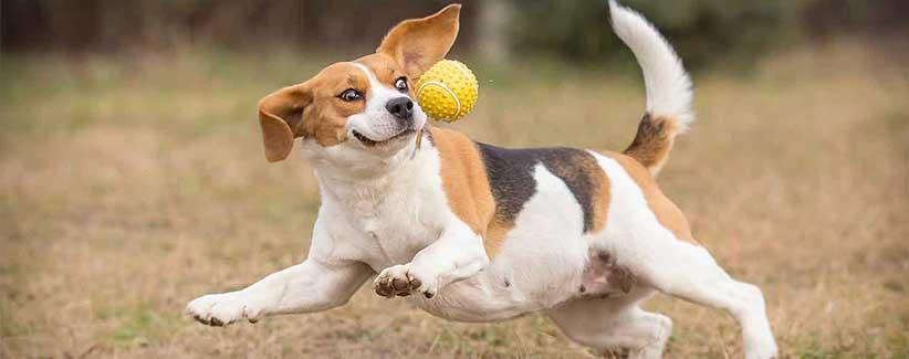 سگ رتریور در حال دویدن برای گرفتن توپ تنیس