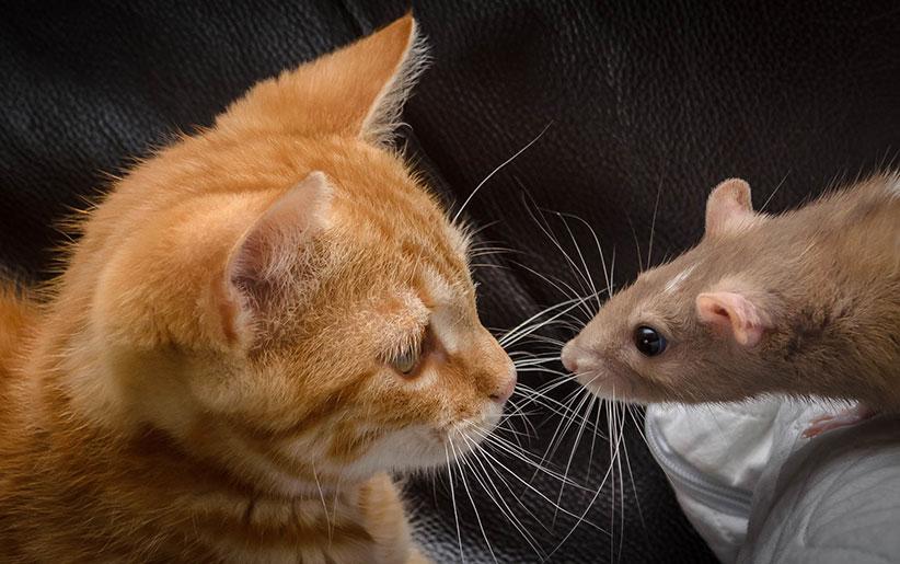 توکسوپلاسموز و گربه و جوندگان